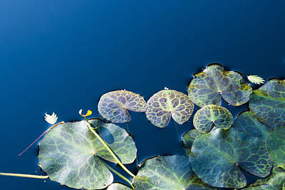 Photograph - Lilypads by Steven Ralser