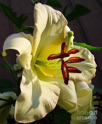 Photograph - Lily's Morning by Pamela Clements