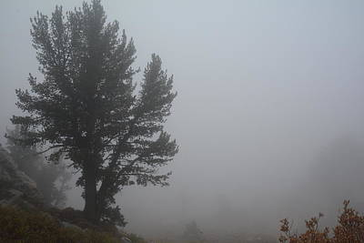 Photograph - Limber Pine In Fog by Jenessa Rahn