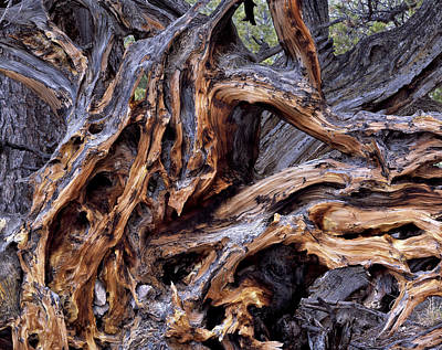 Tree Roots Photograph - Limber Pine Roots by Leland D Howard