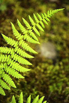 Photograph - Lime Green Fern by Christina Rollo