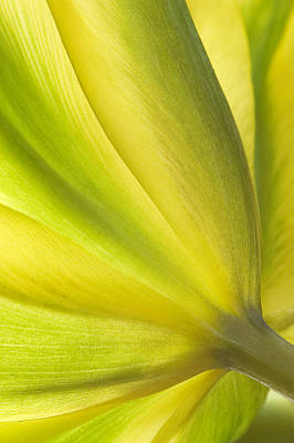 Photograph - Lime Tulip by Jill Love
