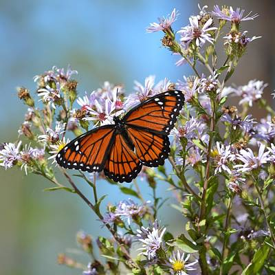 Photograph - Limenitis Archippus - Viceroy Butterfly by rd Erickson