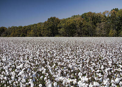 Limestone County Alabama Cotton Crop Art Print by Kathy Clark