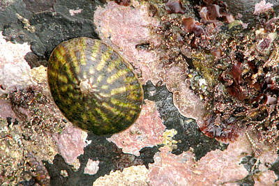 Photograph - Limpet by Frank Townsley