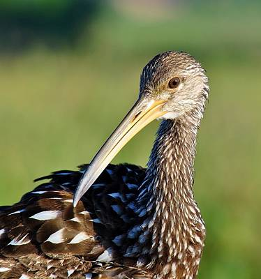 Photograph - Limpkin 2 by John Hintz