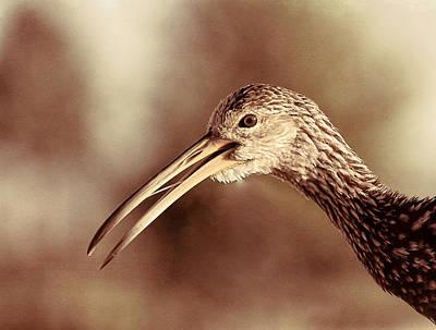 Photograph - Limpkin 3 by Richard Goldman