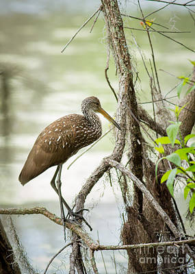 Photograph - Limpkin by Brad Marzolf Photography