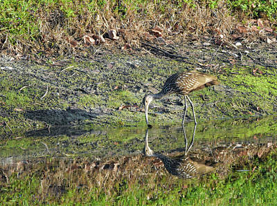 Photograph - Limpkin Finds A Snack by William Tasker