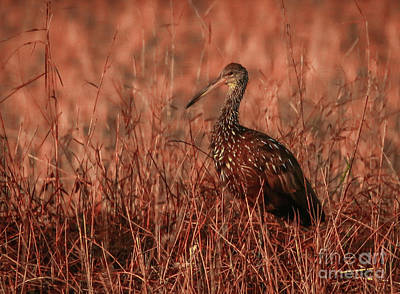 Photograph - Limpkin In Morning Light by Tom Claud
