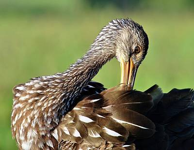 Photograph - Limpkin by John Hintz