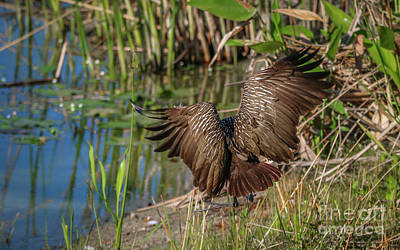 Photograph - Limpkin Landing Approach by Tom Claud