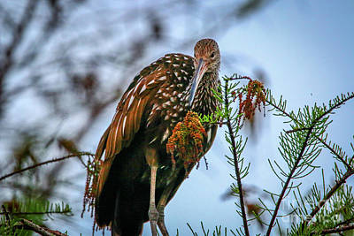 Photograph - Limpkin Lookdown by Tom Claud
