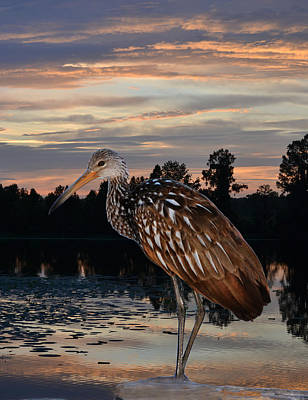 Photograph - Limpkin - Morning Sunrise by rd Erickson
