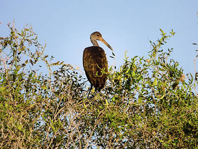 Photograph - Limpkin On A Tree by Helissa Grundemann