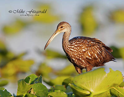 Photograph - Limpkin On The Lake by Mike Fitzgerald