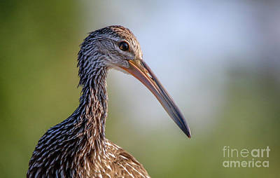 Photograph - Limpkin Portrait by Tom Claud