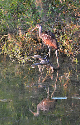 Photograph - Limpkin - The Search For An Apple Snail by rd Erickson
