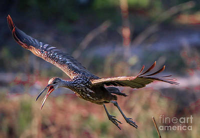 Photograph - Limpkin With Open Mouth by Tom Claud