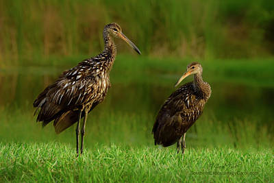 Photograph - Limpkins by Carol Eade