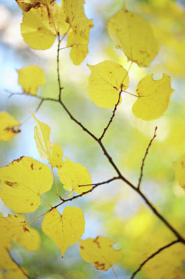 Photograph - Linden Tree Branch. Autumn Watercolor by Jenny Rainbow