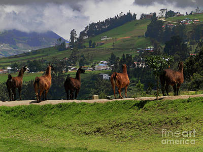 Photograph - Line-dancing Llamas At Ingapirca by Al Bourassa
