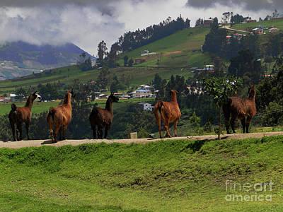 Llama Photograph - Line-dancing Llamas At Ingapirca by Al Bourassa