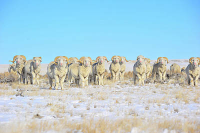 Photograph - Line Em Up Rams by Amanda Smith