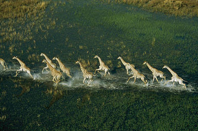 Light And Dark Photograph - Line Of Galloping Giraffes by Bobby Haas
