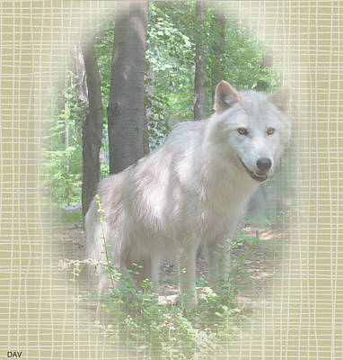 Of Alpha Wolf Photograph - Linen Wolf Pose by Debra     Vatalaro
