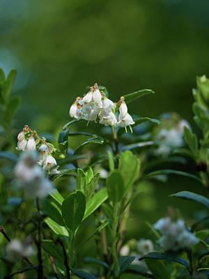 Photograph - Lingonberry Flowers19 by Jouko Lehto
