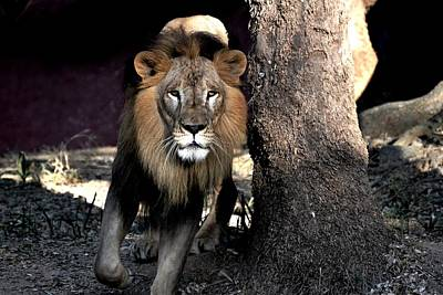 Photograph - Lion-5 by Anand Swaroop Manchiraju