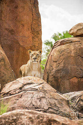Photograph - Lion A Top The Rocks by Pamela Williams