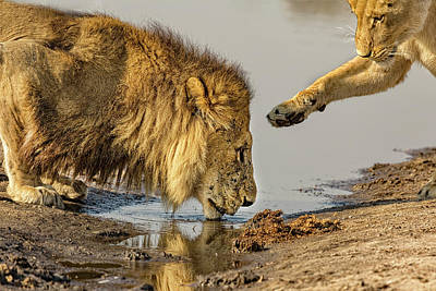 Photograph - Lion Affection by Kay Brewer