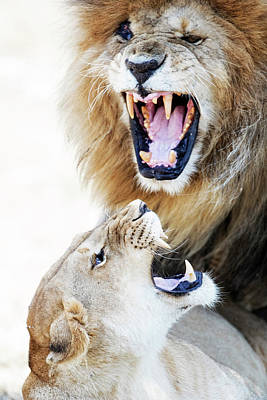 Photograph - Lion And Lioness Aggression During Mating by Susan Schmitz