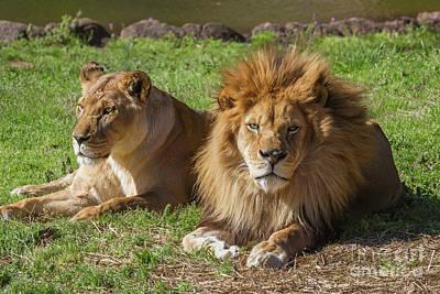 Photograph - Lion And Lioness by Karen Jorstad