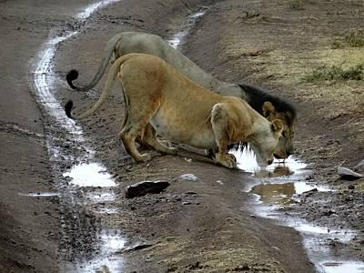 Exploramum Wall Art - Photograph - Lion And Pregnant Lioness Drinking 2 by Exploramum Exploramum