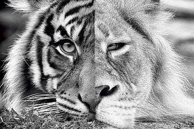 Photograph - Lion And Tiger by Steve McKinzie