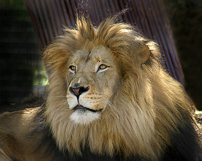 Photograph - Lion by Anthony Jones