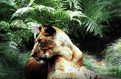 Photograph - Lion At Rest by Inspirational Photo Creations Audrey Taylor