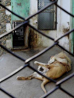 Lion At Zoo Art Print by Tianxin Zheng