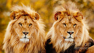 Photograph - Lion Brothers II by Nick  Biemans