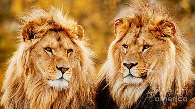 Photograph - Lion Brothers  by Nick  Biemans