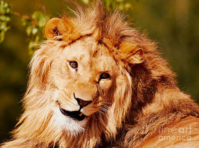 Photograph - Lion Closeup by Nick  Biemans