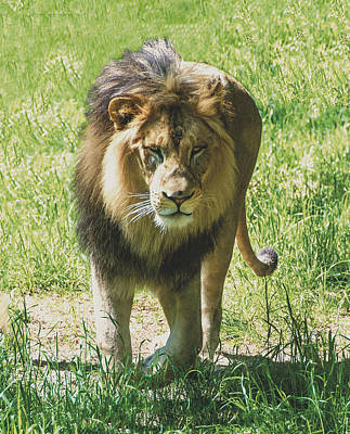 Photograph - Lion Coming Straight Toward You by William Bitman
