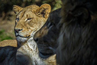 Photograph - Lion Couple by Ron Pate