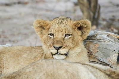 Lion Cub 1 Original by David Bough