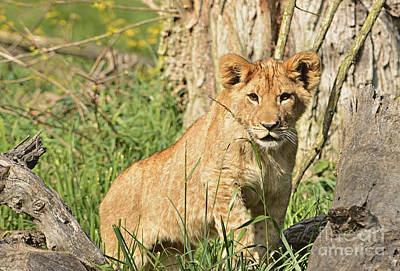 Juvenile Wall Decor Photograph - Lion Cub 2 by Marv Vandehey