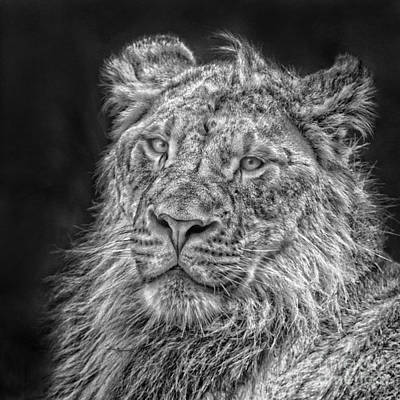 Photograph - Lion Cub Black And White by Sonya Lang