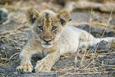 Photograph - Lion Cub by Fran Gallogly